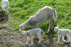 Sheep grazing on dike Royalty Free Stock Photos