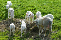 Sheep grazing on dike Royalty Free Stock Images