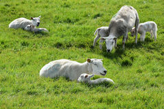 Sheep grazing on dike Stock Photos
