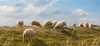 Sheep grazing on a dike in the Netherlands Royalty Free Stock Photography