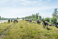 Sheep grazing on a dike on a sunny afternoon Stock Image