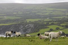 Sheep grazing on Dinas Head Stock Photography