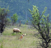 Sheep grazing and dog Stock Photos