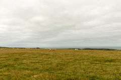 Sheep grazing in Downs near Eastbourne Stock Photo