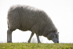 Sheep grazing on a dyke in Northern Germany Stock Images