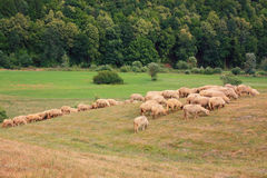 Sheep grazing at the edge of forest. Sheep grazing outdoors next to the forest Royalty Free Stock Image