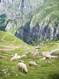 Sheep grazing on the edge of a ravine. Sheep ovis aries grazing on the edge of a ravine in Bucegi Mountains, Romania Royalty Free Stock Images