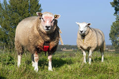 Sheep grazing on embankment of the river Meuse stock photo