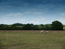 Sheep grazing in an english country farm field Stock Photography