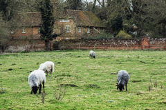 Sheep grazing in the english countryside Stock Image