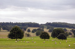 Sheep grazing in the english countryside. Royalty Free Stock Image