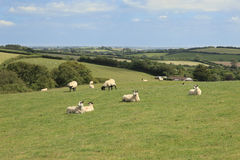 Sheep grazing on Exmoor. Sheep and lambs grazing on farmland on Exmoor Devon England Royalty Free Stock Photography