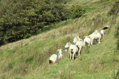 Sheep grazing on Exmoor. Sheep and lambs grazing and sheltering in a steep field on Exmoor Devon England Stock Images