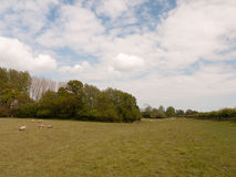 Sheep grazing in a far off wide open field with a big clouded sk. A wide open field in spring with lots of fresh cut grass and some sheep grazing Stock Photo