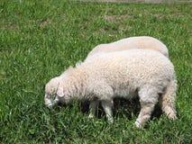 Sheep Stock Photos