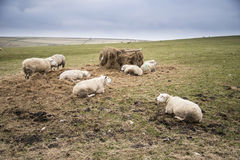 Sheep grazing in farm landscape on sunny day in Peak District UK Royalty Free Stock Images