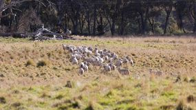 Sheep grazing in farm near Oberon. NSW. Australia. Royalty Free Stock Images