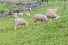 Sheep grazing in a farm royalty free stock image