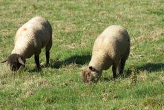 Sheep grazing in a farmland Stock Image