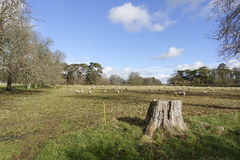 Sheep grazing on farmland. Sheep grazing in a field in the English countryside Royalty Free Stock Photo