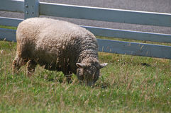 Sheep grazing by the fence Royalty Free Stock Images