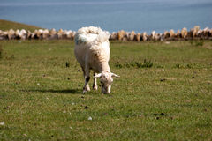 A sheep grazing in a field Royalty Free Stock Photography