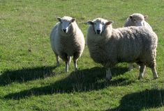 Sheep Grazing in Field Stock Images