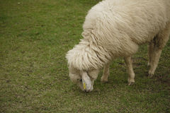 A sheep grazing in the field. Royalty Free Stock Images