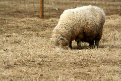 Sheep grazing in a field Stock Image
