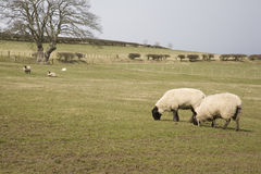 Sheep grazing in field Royalty Free Stock Photo