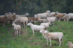 Sheep. Grazing in a field Stock Images