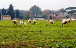 Sheep grazing in field Stock Photography