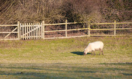 Sheep grazing in field. Lone sheep grazing in green countryside field Royalty Free Stock Photo