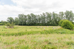 Sheep grazing in a field Stock Photos