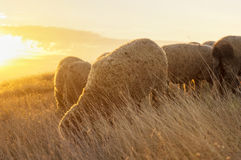 Sheep grazing in the field enjoying last minutes of sunshine Royalty Free Stock Photography