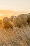Sheep grazing in the field enjoying last minutes of sunshine Stock Photo