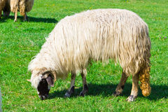 A sheep grazing on field Royalty Free Stock Photos