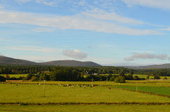 Sheep Grazing in the Field in Front of Cairngorms Mountains Stock Photos
