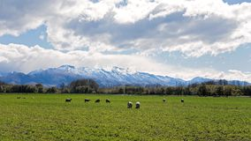Sheep Grazing In A Field In Front Of Snow Covered Alps Stock Images