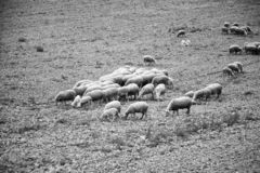 Sheep grazing field. Sheep grazing in field, herbivorous animals and nature, flock, farm, lamb, green, grass, meadow, agriculture, countryside, white, rural stock image