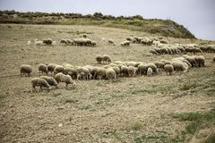 Sheep grazing field. Sheep grazing in field, herbivorous animals and nature, flock, farm, lamb, green, grass, meadow, agriculture, countryside, white, rural royalty free stock images