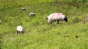 Sheep grazing in a field stock footage