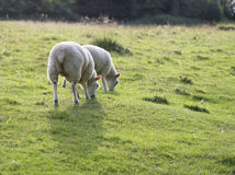 Sheep grazing in a field Royalty Free Stock Image