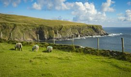 Sheep grazing in a field at Malin Beg, Co. Donegal.  royalty free stock photo