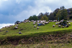 Sheep grazing Stock Photo