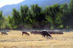 Sheep grazing on field. Sheep grazing on mown field on a background of trees and mountains Stock Photography
