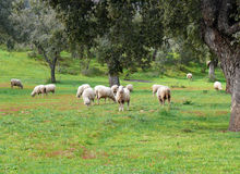 Sheep grazing. Sheep in a field with oaks stock images