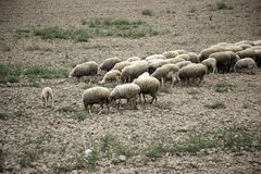 Sheep grazing field. Sheep grazing in field, herbivorous animals and nature, flock, farm, lamb, green, grass, meadow, agriculture, countryside, white, rural stock photo