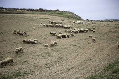 Sheep grazing field. Sheep grazing in field, herbivorous animals and nature, flock, farm, lamb, green, grass, meadow, agriculture, countryside, white, rural stock photos
