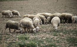 Sheep grazing field. Sheep grazing in field, herbivorous animals and nature, flock, farm, lamb, green, grass, meadow, agriculture, countryside, white, rural stock photography